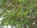 Anogeissus latifolia (YS) (8).jpg