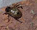 Anomala undulata P1590632a.jpg