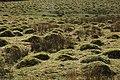 Ant hills, Coombegreen Common - geograph.org.uk - 723666.jpg