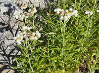 Antennaria lanata.jpg