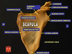 Anterior surface of scapula.jpg