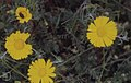 Anthemis tintroria. Yellow chamomile. near Casablanca (37085873613).jpg