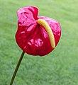 Anthurium (Flamingoplant) (actm) 04.jpg