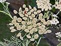 Apiaceae - Seseli gummiferum.jpg