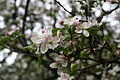Apple-tree-spring-bloom - West Virginia - ForestWander.jpg