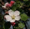 Apple Blossom Graue Französische Renette.jpg