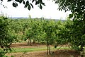 Apple orchard near Postern - geograph.org.uk - 1356230.jpg