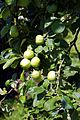 Apples in the Walled Garden of Parham House, West Sussex, England 1.jpg