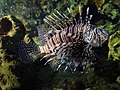 Aquarium of Cattolica - Red lionfish.jpg