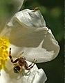 Araña napoleón tratando de cazar una mosca (642024236).jpg