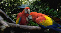 Ara macao -Disneys Animal Kingdom, Florida, USA-8a.jpg