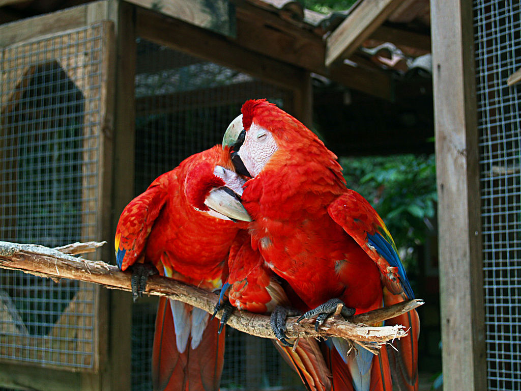 Image result for scarlet macaw for sale near me""