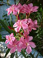 Arali pink.JPG
