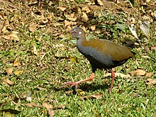 Acura Wiki on Slaty Breasted Wood Rail   Wikipedia  The Free Encyclopedia