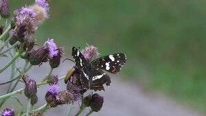 File:Araschnia levana Sommer.ogv