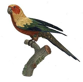 1801 in birding and ornithology - Image: Aratinga solstitialis Barraband