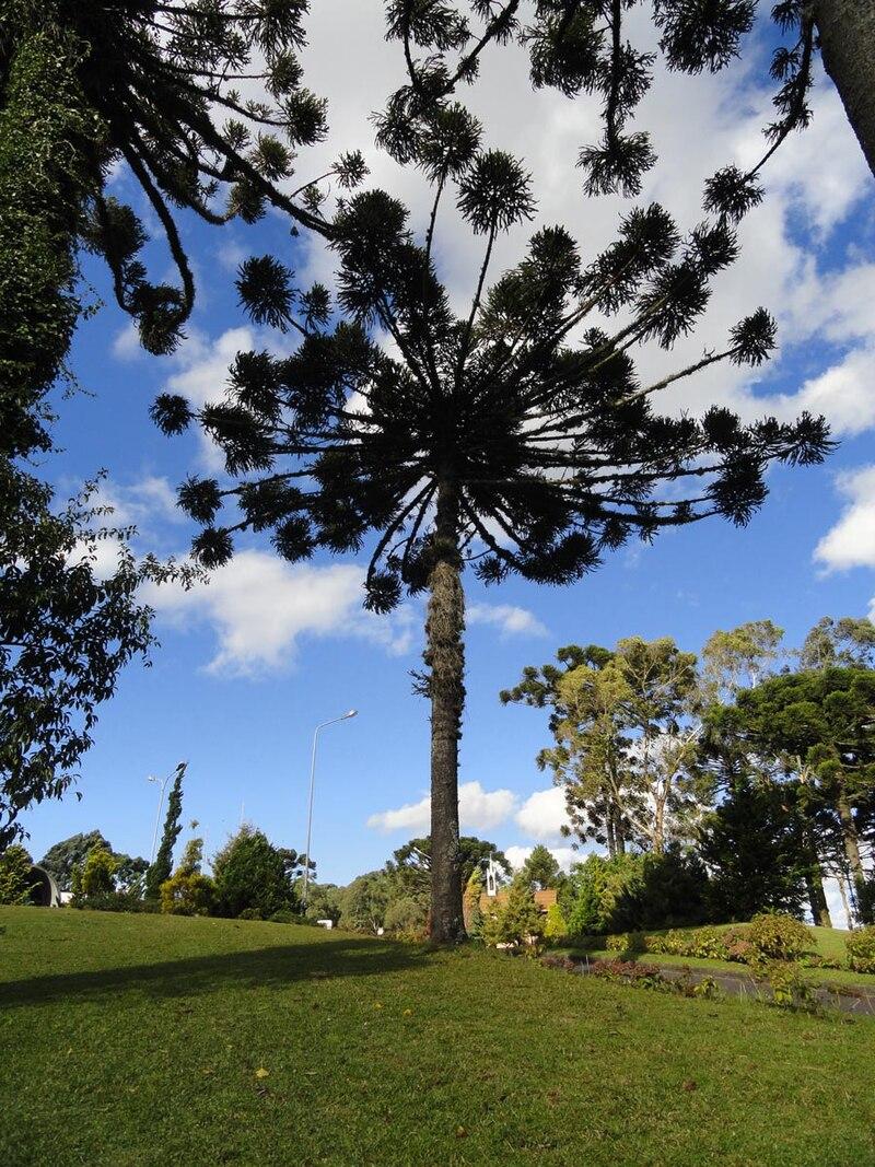 Araucaria-caxias-do-sul.jpg
