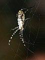Argiope trifasciata 03 - Aranya tigre - Banded argiope (5077160257).jpg