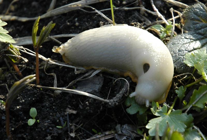 White variant of Arion ater