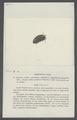 Armadillo trivialis - - Print - Iconographia Zoologica - Special Collections University of Amsterdam - UBAINV0274 098 09 0015.tif