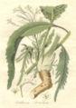 Armoracia rusticanaAHA.jpg