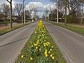 Arnhem-De Laar west, narcissen op de Brabantweg foto6 2016-03-30 15.01.jpg