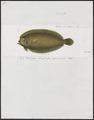 Arnoglossus tapeinosoma - 1866-1872 - Print - Iconographia Zoologica - Special Collections University of Amsterdam - UBA01 IZ14000175.tif