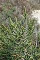 Arthrocnemum macrostachyum kz7.jpg