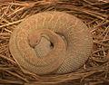 Aruba island rattlesnake (4530713407).jpg