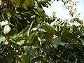 Asana (Marathi- असण) (3206526594).jpg