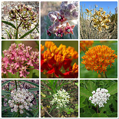 Asclepias collage.jpg