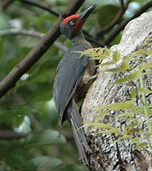 Ashy Woodpecker (Mulleripicus fulvus) on tree trunk (crop 1).jpg