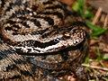 Asp Viper (Vipera aspis) male (found by Jean NICOLAS) (35364466390).jpg