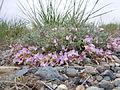 Astragalus calycosus (8265689784).jpg