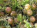 Astragalus crassicarpus (5258391576).jpg