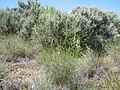 Astragalus filipes (5391670094).jpg