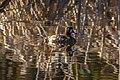 At Isobel lake…female Lesser Scaup (8727142999).jpg