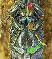 Athous bicolor detail.jpg