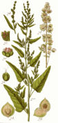 Atriplex hortensis cleaned Sturm.png