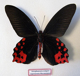 Atrophaneura semperi (male, verso).JPG