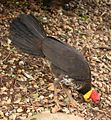 Australian Brush-turkey.jpg