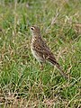 Australian Pipit, Canal Creek, Central Queensland.jpg