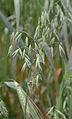 Avena sativa black oat, zwarte haver (3)bewerkt.jpg