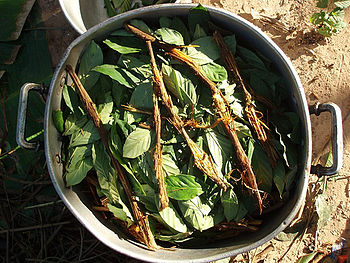 English: ayahuasca y chacruna - cooking I