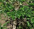Azara microphylla 2.jpg
