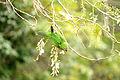 Aztec Parakeet (Aratinga astec) -Guatemala-8b.jpg