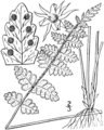 BB-0026 Woodsia scopulina.png