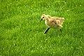 Baby Goose - 18754733370.jpg