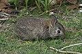 Baby rabbit yard (15431530809).jpg
