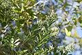 Baccharis halimifolia -.jpg
